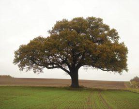 Felicity the Oak Tree